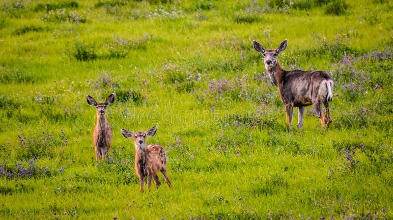 Familia de los ciervos imagen de archivo libre de regalías
