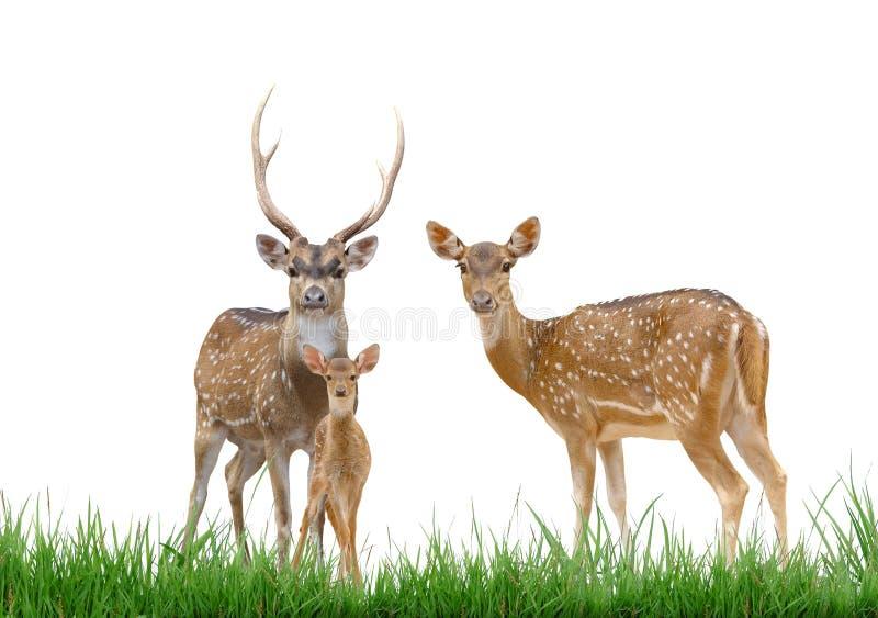Familia de los ciervos del eje con la hierba verde aislada imagenes de archivo