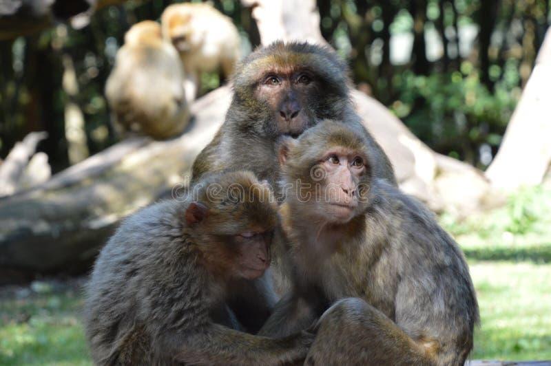 Familia de los monos/chamusquinas de Famille de imagenes de archivo