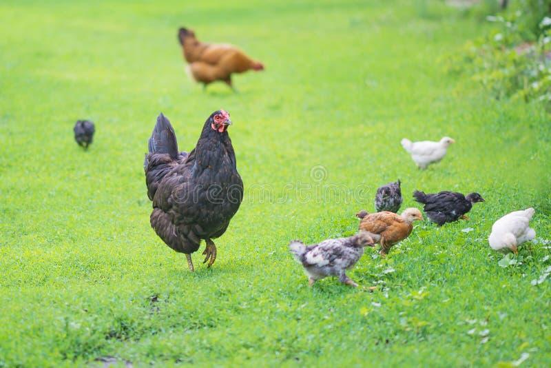 Familia de los pollos al aire libre imágenes de archivo libres de regalías