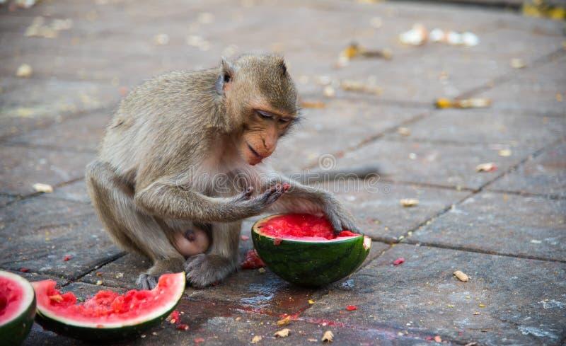 Familia de macaque de cola larga de los fascicularis del Macaca, Cangrejo-comiendo imagenes de archivo