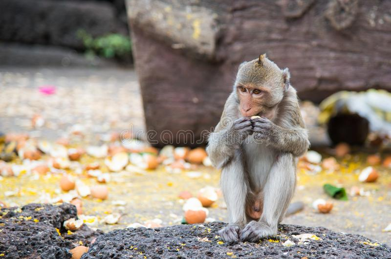 Familia de macaque de cola larga de los fascicularis del Macaca, Cangrejo-comiendo imagen de archivo libre de regalías