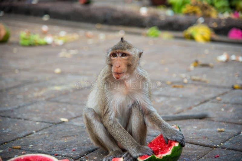 Familia de macaque de cola larga de los fascicularis del Macaca, Cangrejo-comiendo fotografía de archivo libre de regalías