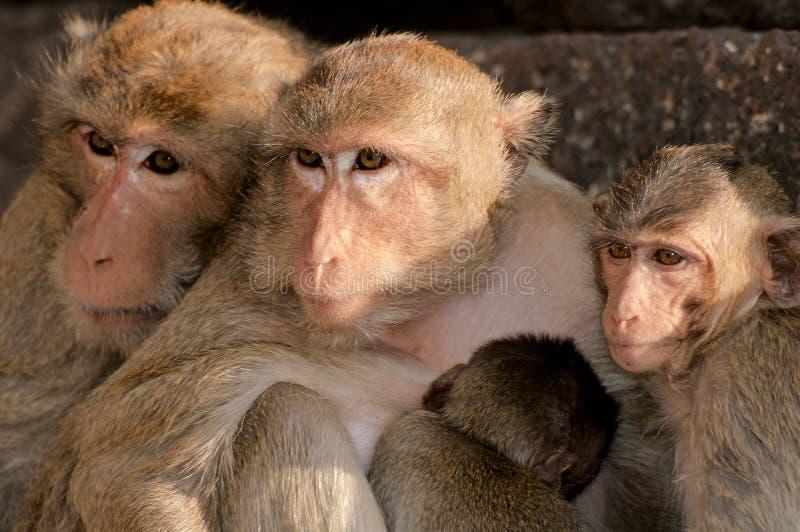 Familia de Macaque de cola larga, Tailandia fotos de archivo