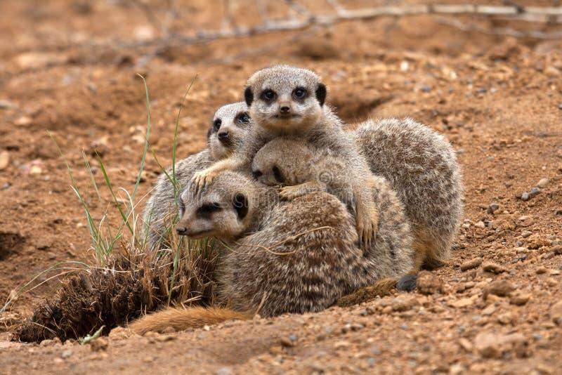 Familia de Meerkat imagenes de archivo