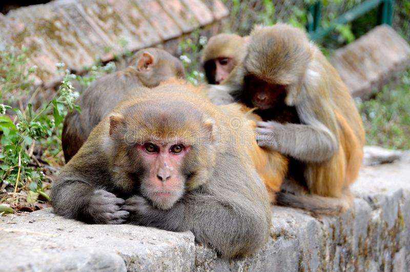 Familia de monos en Nepal fotografía de archivo