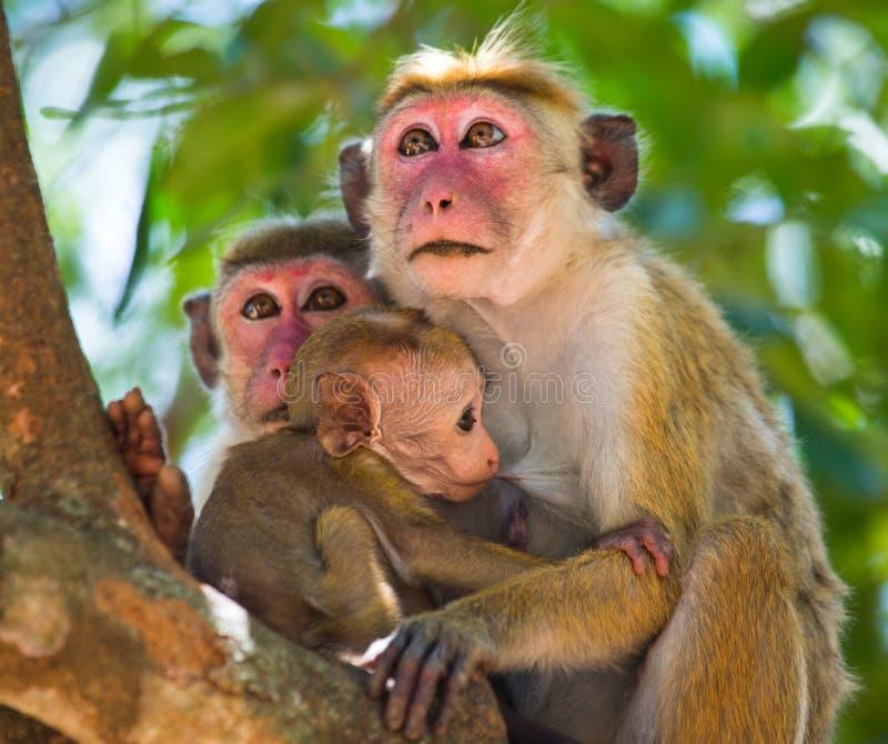 Familia de monos que se sientan en un árbol Cuadro divertido Sri Lanka imágenes de archivo libres de regalías