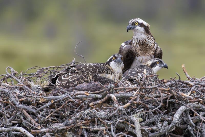 Familia de Osprey, Finlandia fotos de archivo