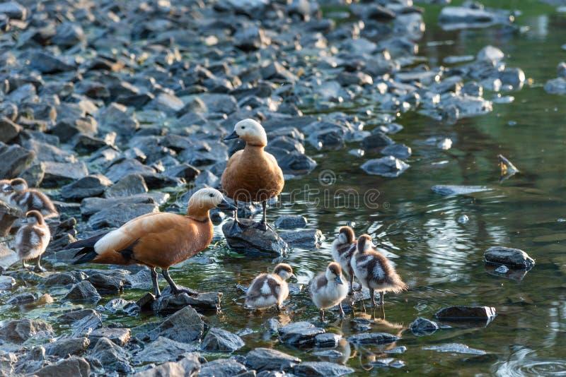Familia de patos con los anadones en la orilla rocosa foto de archivo