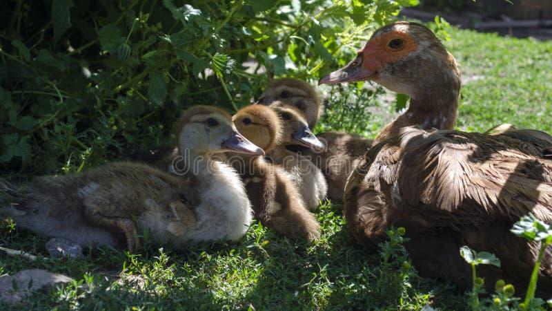 Familia de patos imágenes de archivo libres de regalías