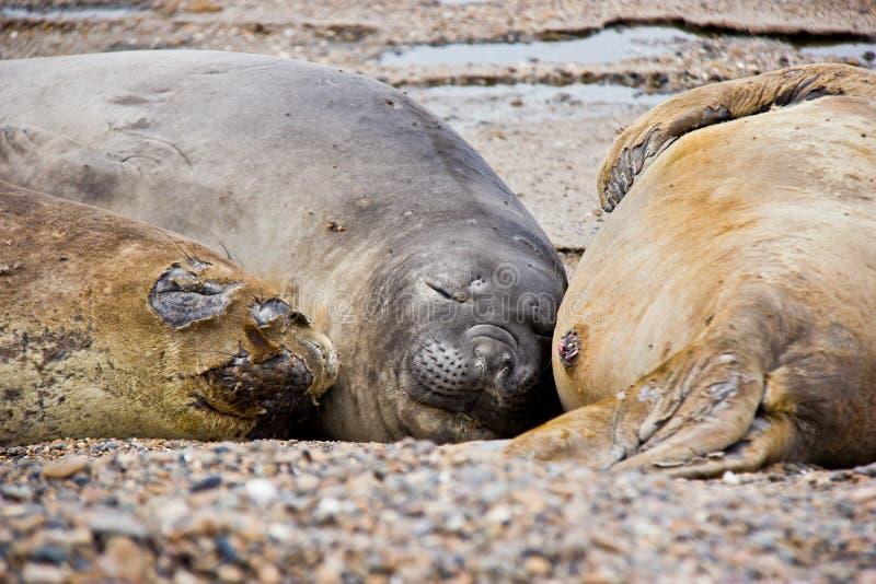 Familia de perro de mar que duerme en la playa en la Argentina imagenes de archivo