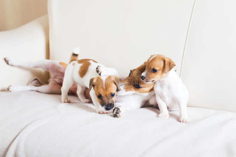 Familia de perro que juega en un sofá imagen de archivo libre de regalías