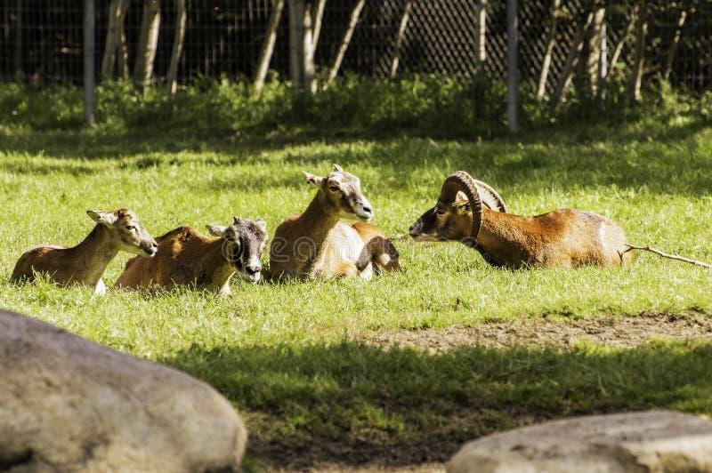 Familia de piedra de las ovejas imagen de archivo libre de regalías