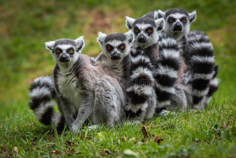 Familia de Ring Tailed Lemurs que presenta para las imágenes imagen de archivo libre de regalías