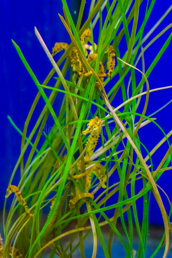Familia de seahorses amarillos del estuario común que cuelgan alrededor en alguna hierba de la alga marina fotos de archivo