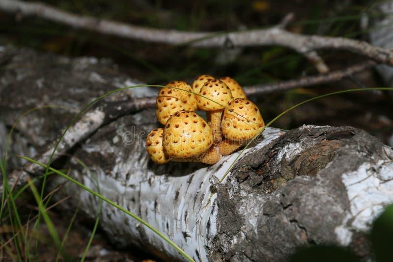 Familia de setas una seta no comestible hermosa del bosque fotos de archivo
