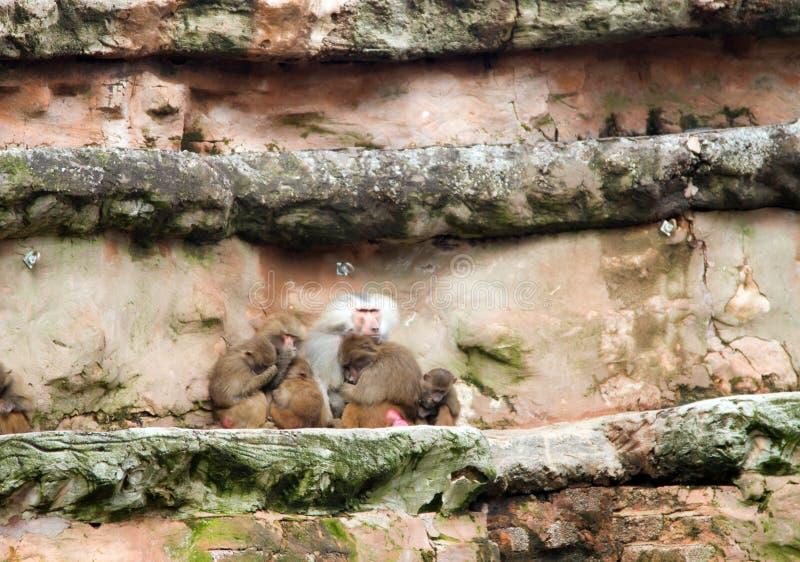 Familia del babuino imagen de archivo