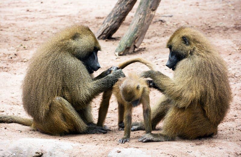 Familia del babuino de Guinea (papio del Papio) foto de archivo libre de regalías