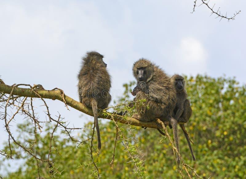 Familia del babuino en un árbol imagenes de archivo
