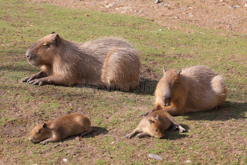 Familia del Capybara imágenes de archivo libres de regalías