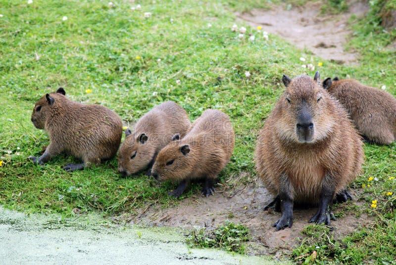 Familia del Capybara, madre y sus cuatro cachorros fotografía de archivo