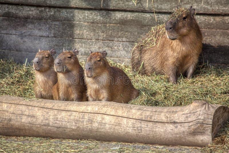 Familia del Capybara foto de archivo libre de regalías