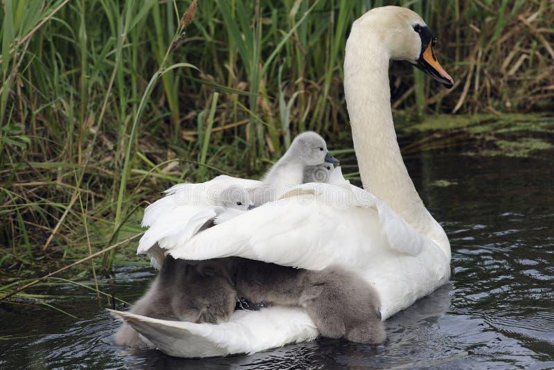 Familia del cisne en el río fotografía de archivo