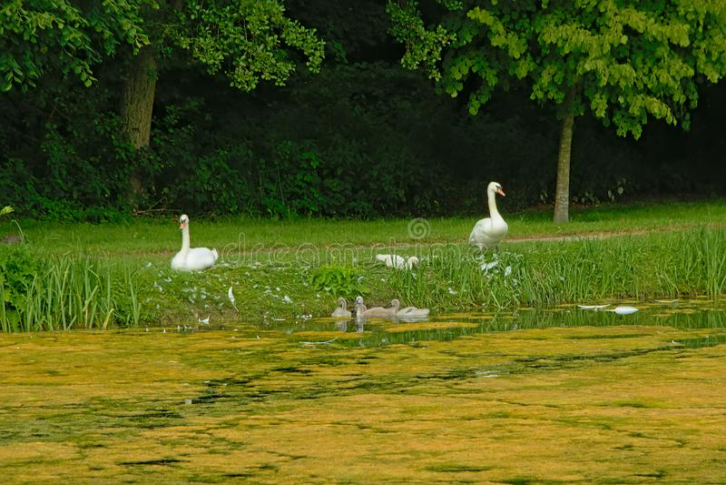 Familia del cisne en la hierba en el lado de la piscina imágenes de archivo libres de regalías