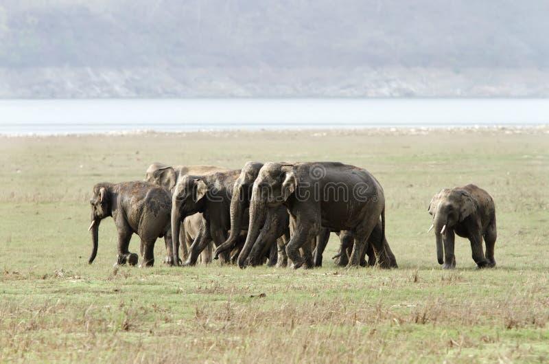 Familia del elefante en el prado imagen de archivo