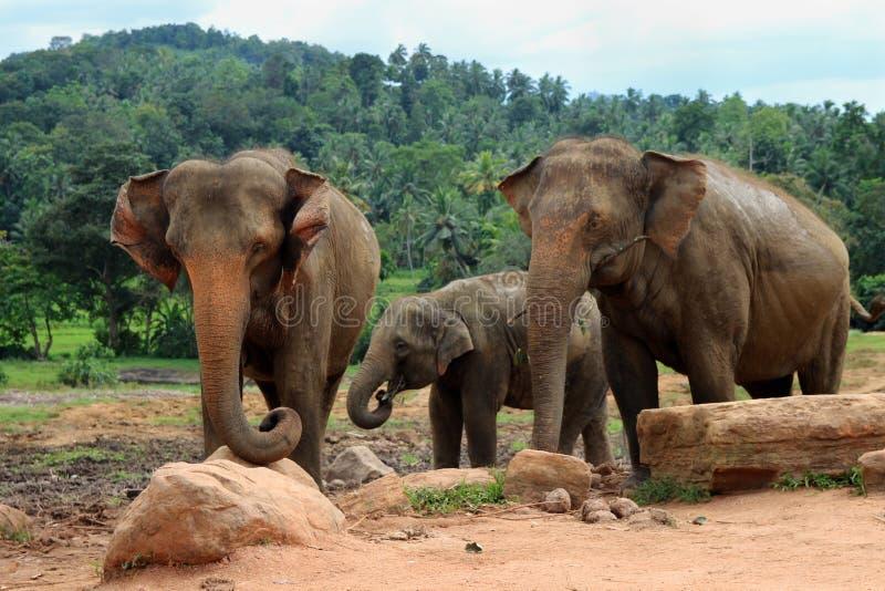 Familia del elefante en el salvaje fotografía de archivo