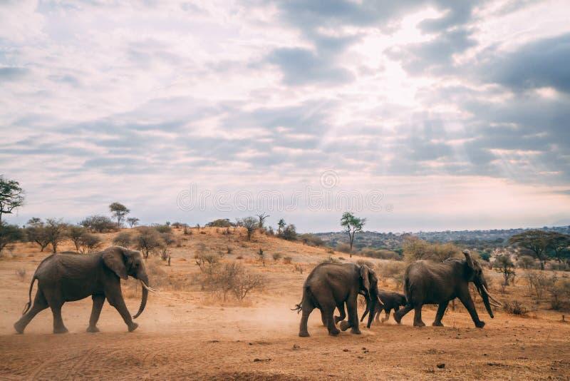 Familia del elefante que camina en puesta del sol fotos de archivo