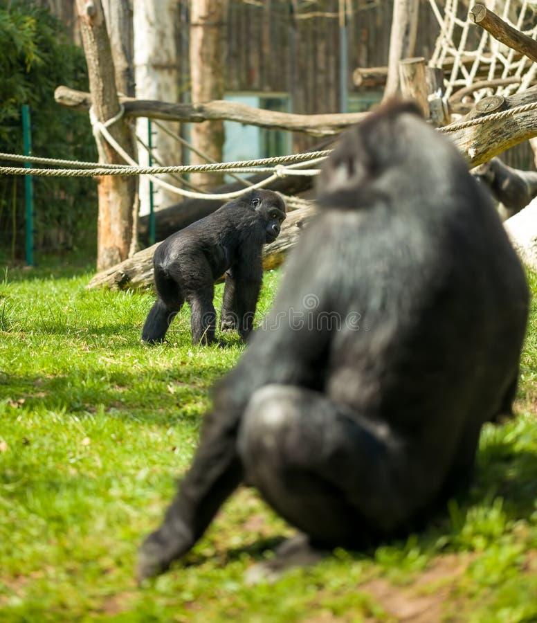 Familia del gorila imagen de archivo libre de regalías
