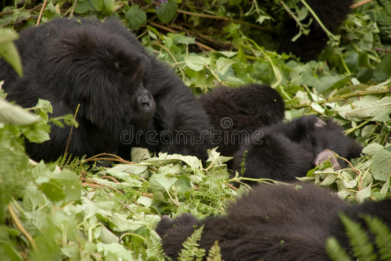 Familia del gorila en Rwanda imagen de archivo