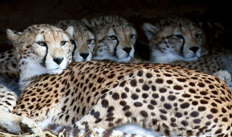 Familia del guepardo en abrigo fotografía de archivo libre de regalías