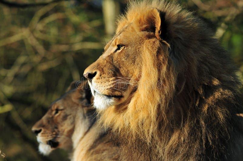 Familia del león foto de archivo