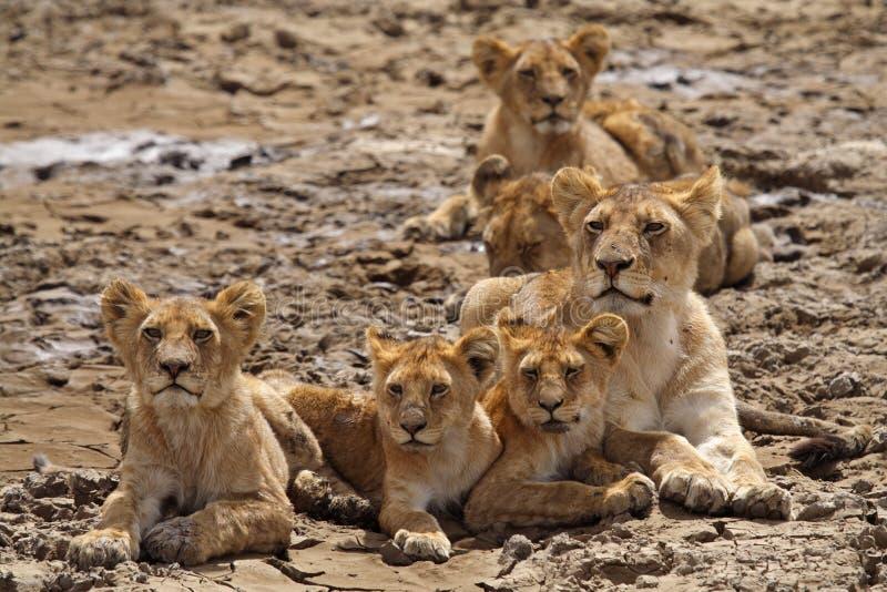 Familia del león en el Serengeti imagenes de archivo