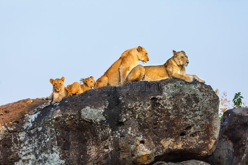 Familia del león en rocas fotografía de archivo