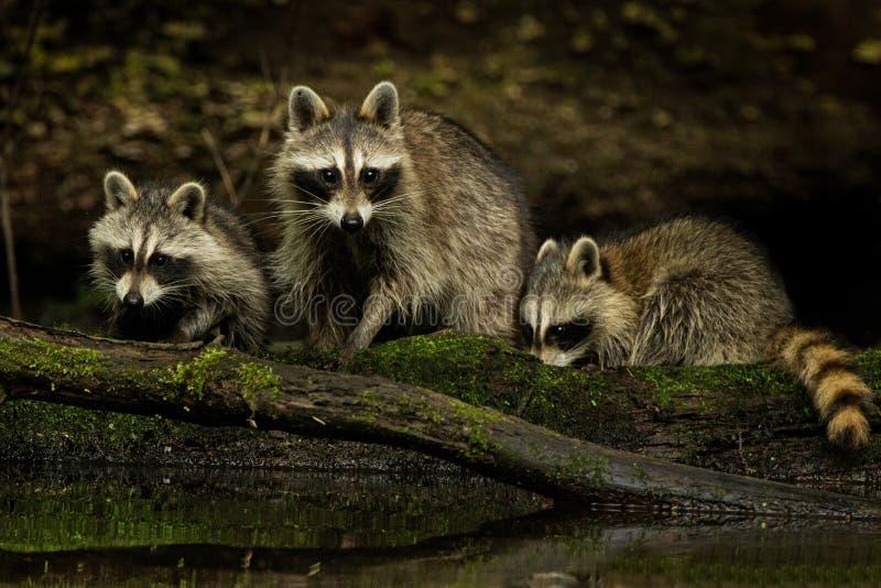 Familia del mapache imágenes de archivo libres de regalías