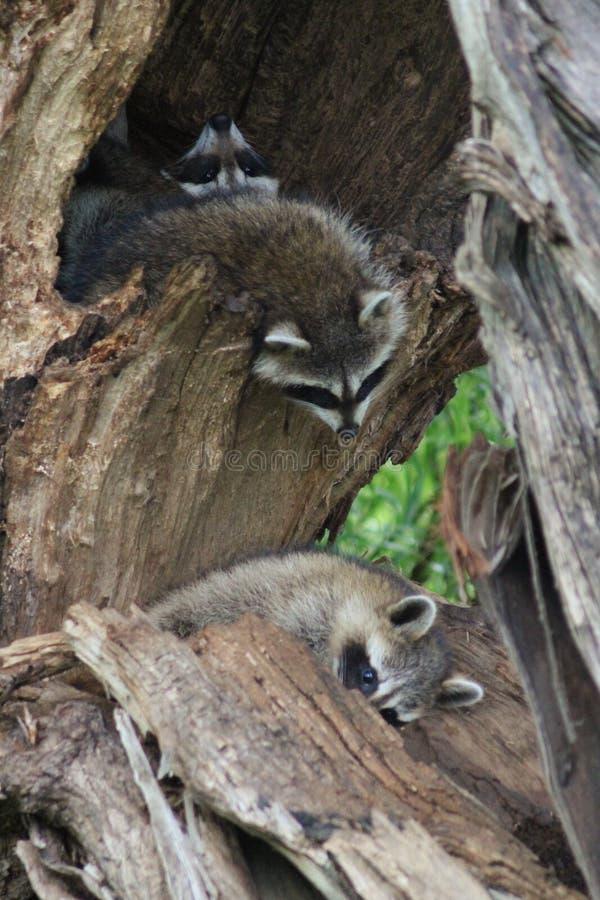 Familia del mapache que toma una siesta fotos de archivo libres de regalías
