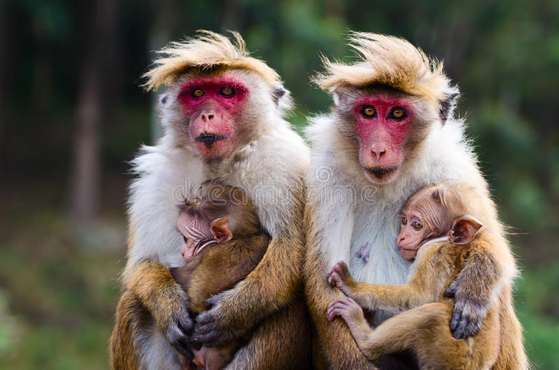 Familia del mono imagen de archivo