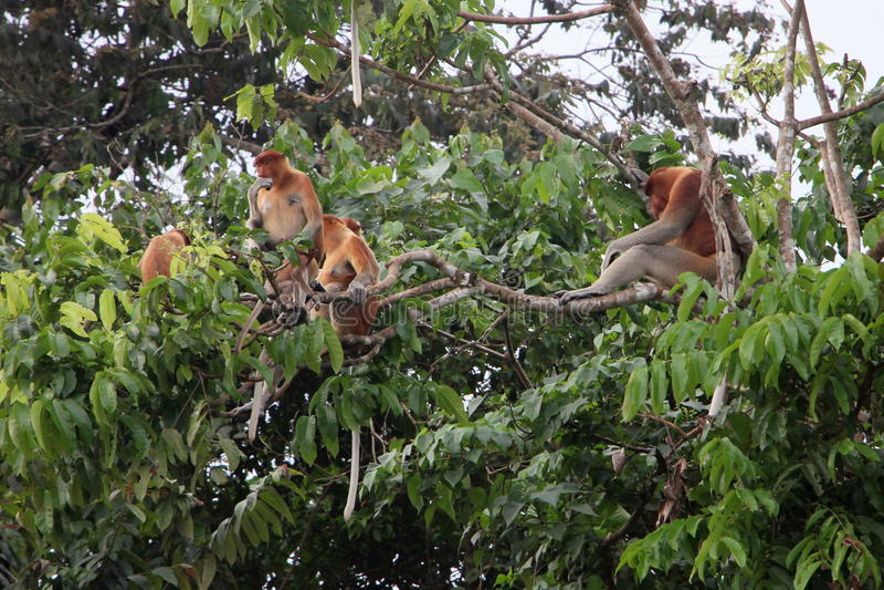 Familia del mono de probóscide imagenes de archivo