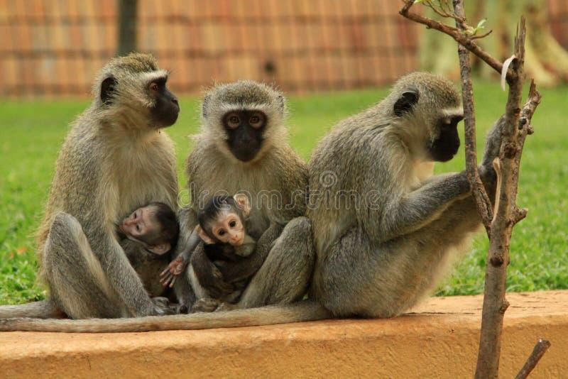 Familia del mono en Suráfrica fotografía de archivo libre de regalías