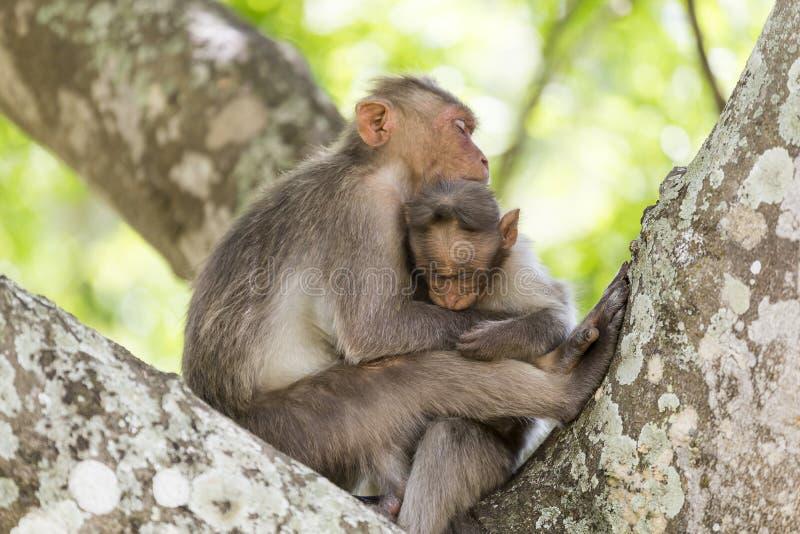 Familia del mono, la India imagen de archivo