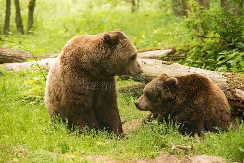 Familia del oso de Brown imágenes de archivo libres de regalías