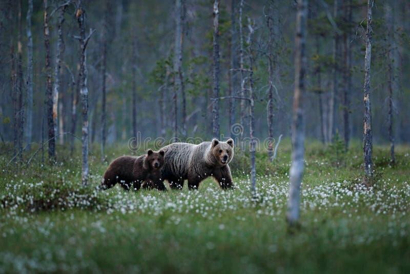 Familia del oso en hierba de algodón del verano Cachorro de oso con la madre Animales hermosos ocultados en los animales peligros fotografía de archivo libre de regalías