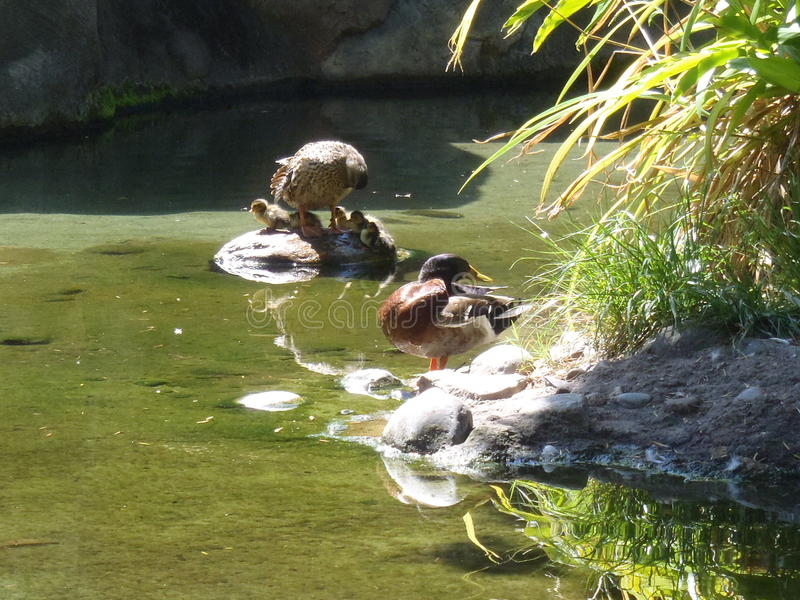 Familia del pato fotos de archivo