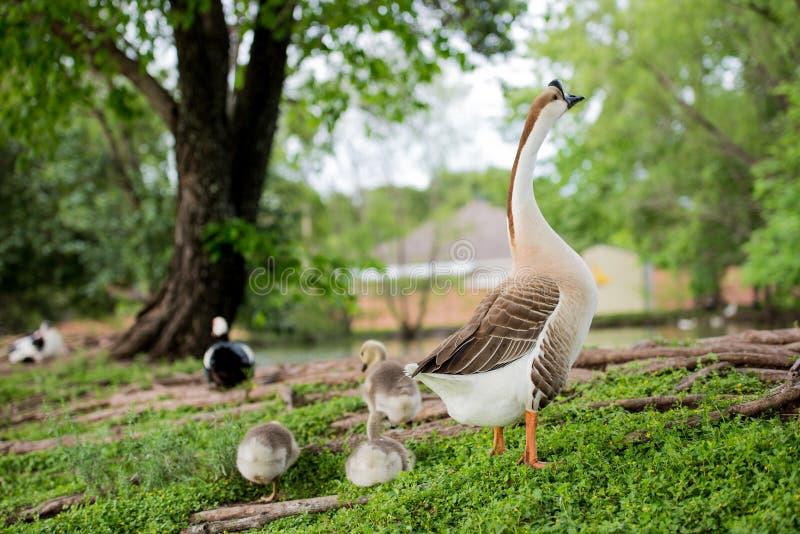 FAMILIA DEL PATO POR LA CHARCA EN TX 2 imagen de archivo libre de regalías