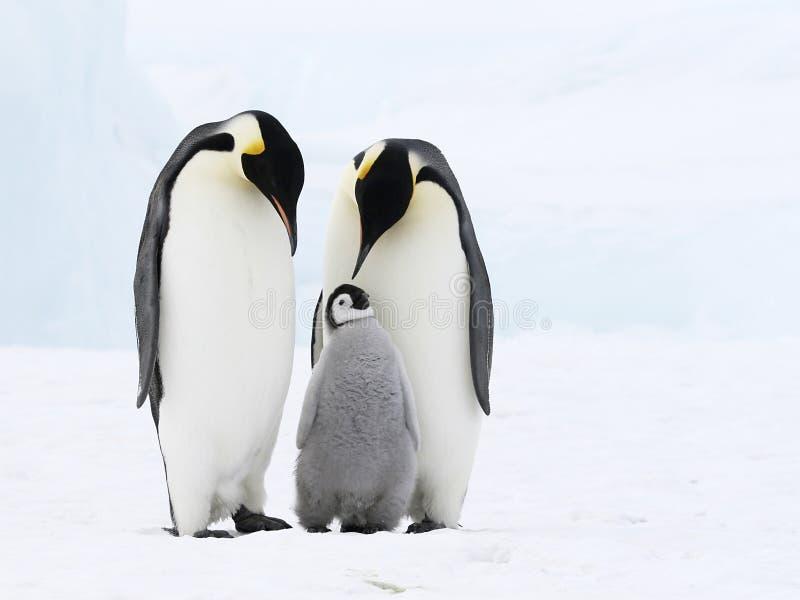 Familia del pingüino de emperador imagenes de archivo