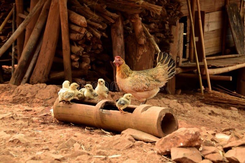 Familia del pollo imagenes de archivo