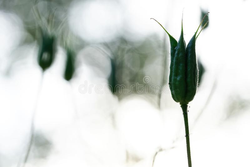 Familia del ranunculaceae de la silueta - aquilegia vulgaris, semillas en vainas Sobre fondo borroso ligero imagen de archivo